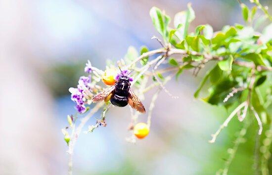 Black Carpenter Bee by jayneeldred