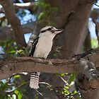 Kookaburra by Kaye Stewart