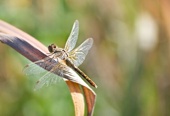 Dragonfly on a Dry Piece of Grass by lindsycarranza