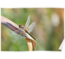 Dragonfly on a Dry Piece of Grass Poster