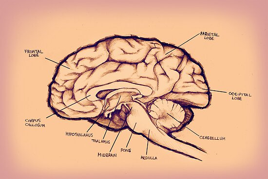Brain Diagram by Selador