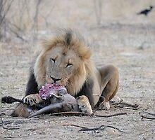 Kalahari Lion Grasslands Camp - Predator Project by vawtjwphoto