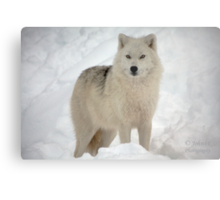 The Arctic Wolf Metal Print