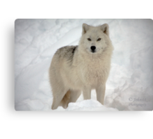 The Arctic Wolf Canvas Print
