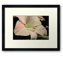 Fabulous Amaryllis Framed Print
