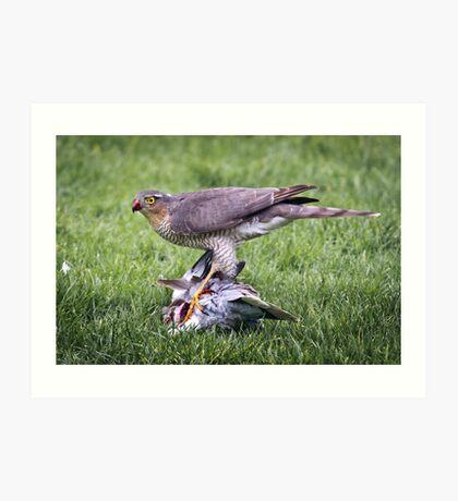 Sparrow Hawk on kill Art Print