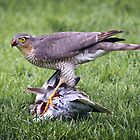 Sparrow Hawk on kill by Geoff Carpenter