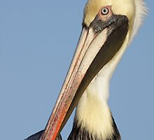 Portrait of a Pelican by Carol Bailey White