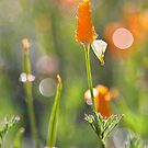 California Poppies by Kim Barton