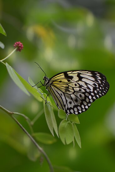 White Butterfly by Linda Cutche