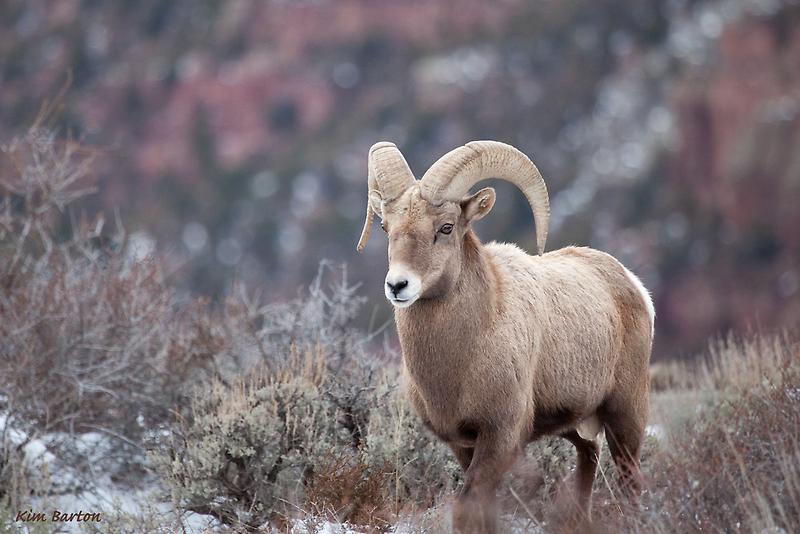 Red Canyon Ram 2 by Kim Barton