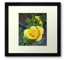 Tender Rose Framed Print