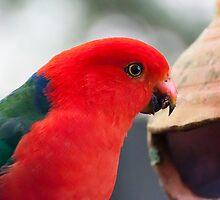 King Parrot by Steve Randall