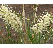 Grevillea 'MoonLight' twin flowers, shrub, Mount Pleasant. S.A. Photographic Print