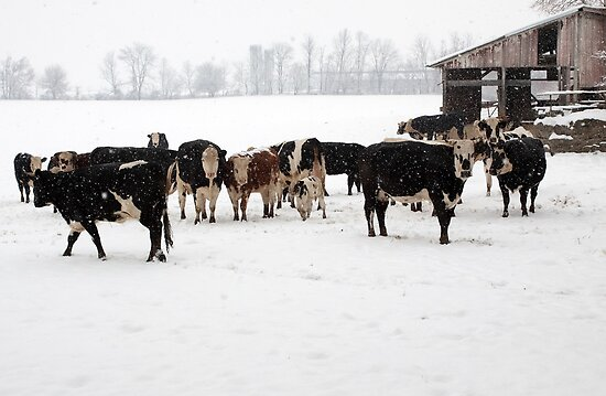 Cattle on a Snowy Day by Delmas Lehman