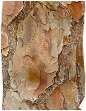 Bark Abstract  by PollyBrown