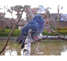 Pigeon in Japan 2 Photographic Print
