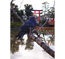 Pigeon in Japan 5 Photographic Print
