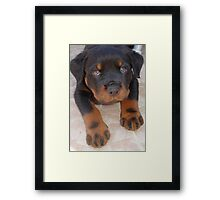 Young Male Rottweiler Making Eye Contact Framed Print