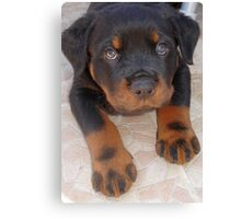 Young Male Rottweiler Making Eye Contact Canvas Print