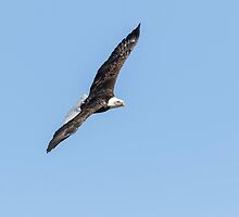 American Bald Eagle 2015-27 by Thomas Young
