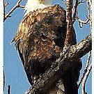 North American Bald Eagle by Brad Sumner