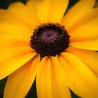 Black Eyed Susan by EdwardKay
