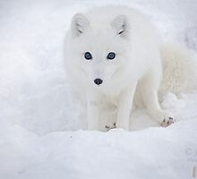 Arctic fox / Vulpes lagopus by John44