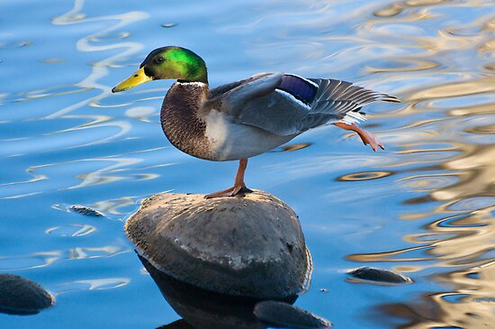 Stretching Mallard by Eivor Kuchta