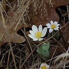 Bloodroot Flower Peeking Out of Oak Leaves by Deb Fedeler