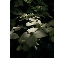 Chinese Dogwood in flower Photographic Print
