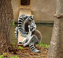 Ring-tailed Lemurs  by Robert Meyers-Lussier