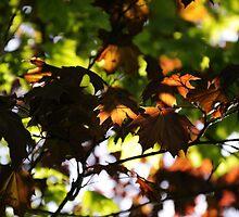 maple's glow~ by Brandi Burdick
