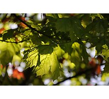 maple's green~ Photographic Print