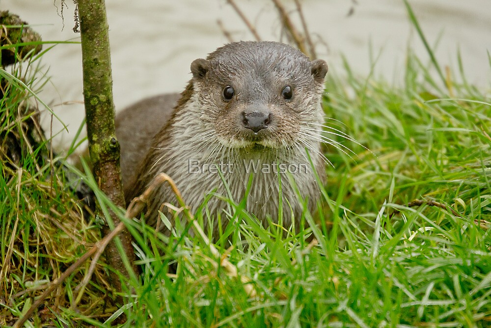 otter  by Brett Watson Stand By Me  Ethiopia