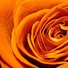Orange rose by lolita50