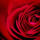Red rose by lolita50