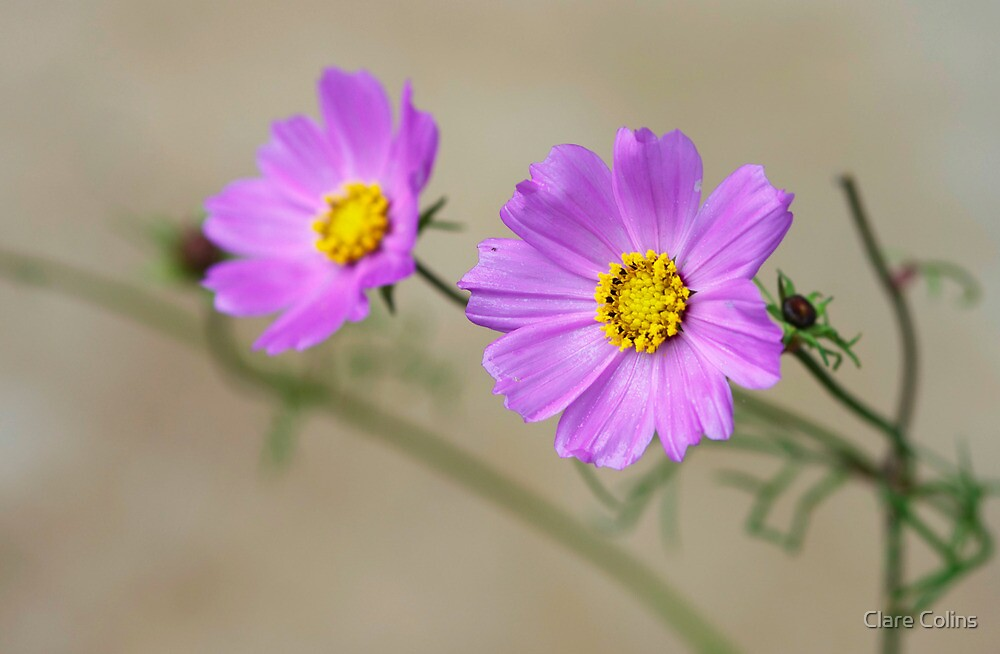Cosmos Two by Clare Colins