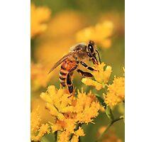 Honeybee On Goldenrod ~ Photographic Print