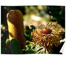 Banksia epica (3) Poster
