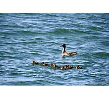 Mama and ducklings,Sparks Nevada USA Photographic Print