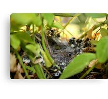 Baby birds snug in thier nest Canvas Print