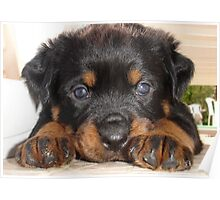 Female Rottweiler Puppy, Head Resting Between Paws Poster