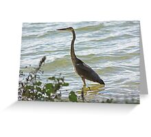 Wading Great Blue Heron Greeting Card