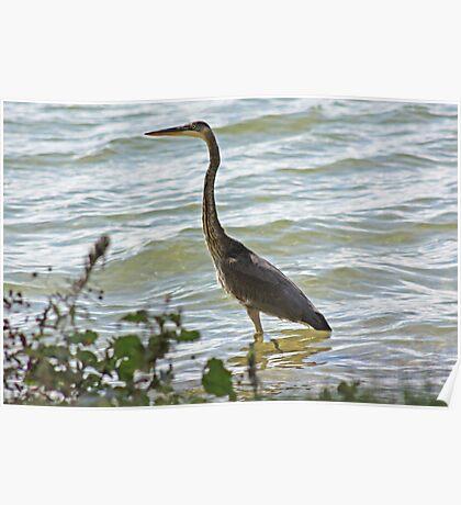 Wading Great Blue Heron Poster