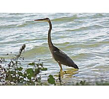 Wading Great Blue Heron Photographic Print
