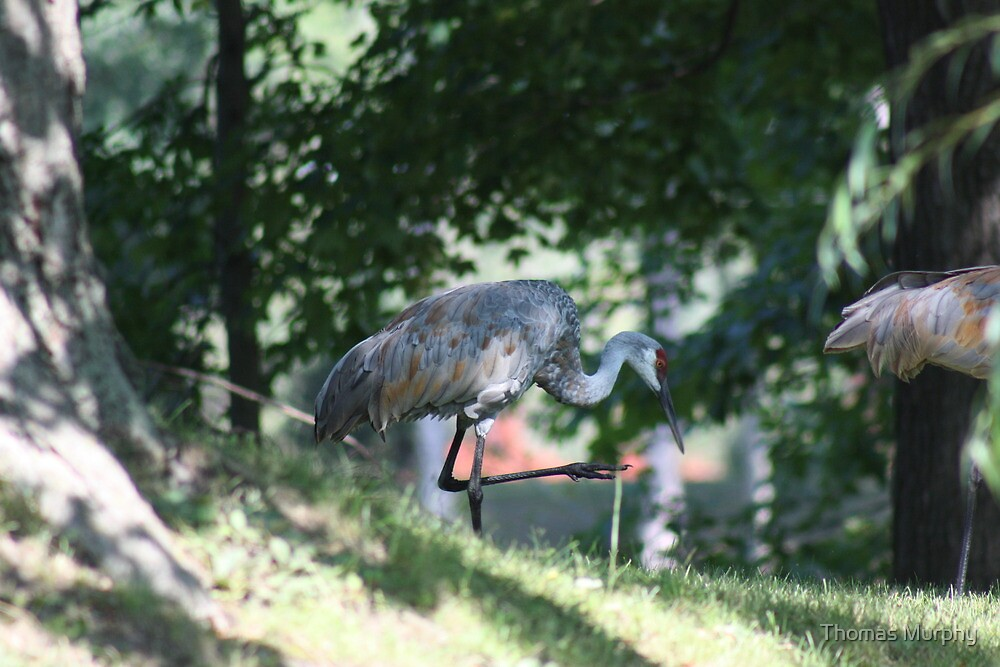 Sandhill Crane photographed in Oconomowoc by Thomas Murphy