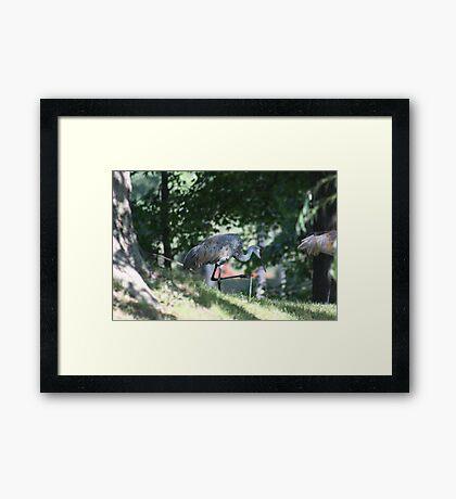 Sandhill Crane photographed in Oconomowoc Framed Print