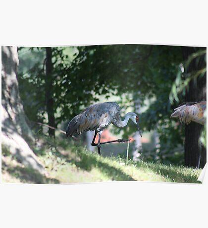 Sandhill Crane photographed in Oconomowoc Poster