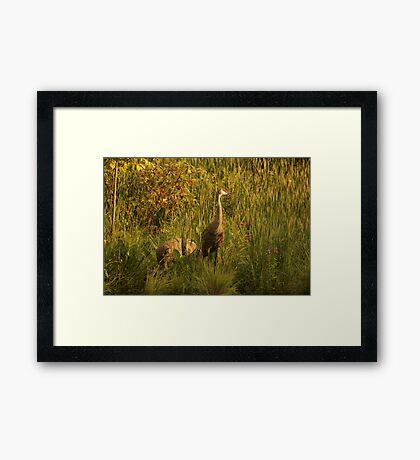 Sandhill Cranes on shore of Lake Framed Print